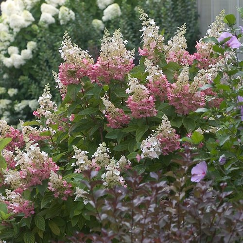 pinky winky hardy hydrangea hydrangea paniculata. Black Bedroom Furniture Sets. Home Design Ideas