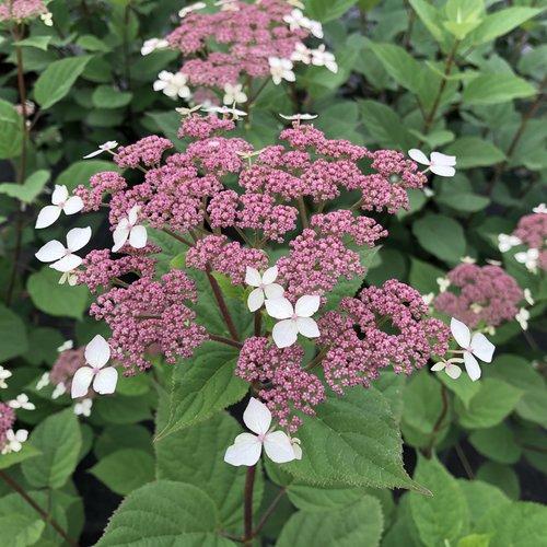 Invincibelle Lace™ - Smooth hydrangea - Hydrangea arborescens
