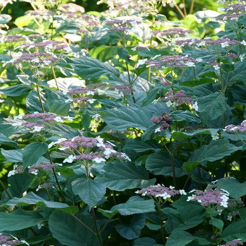 hydrangea-arborescens-invincibelle-lace-2.jpg