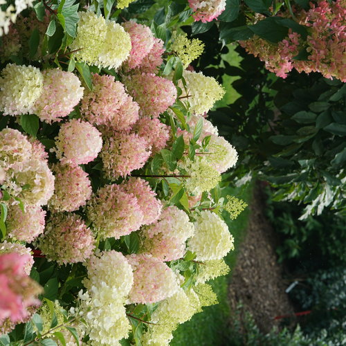 hydrangea-fire-light-tidbit-1.jpg
