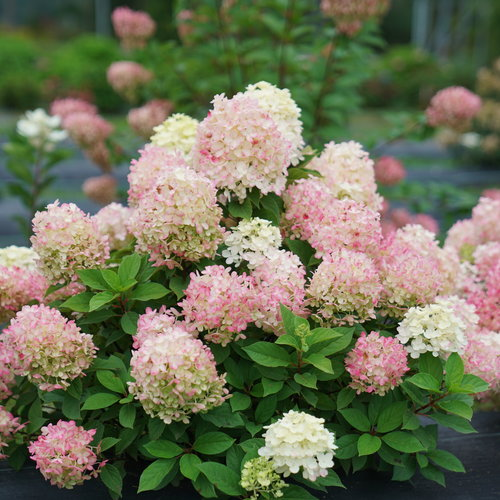 hydrangea-fire-light-tidbit-3.jpg