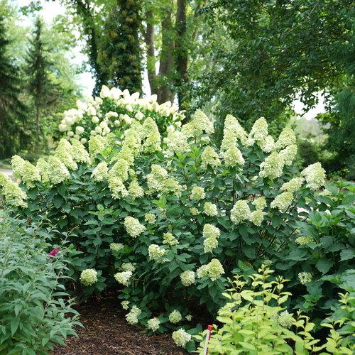 hydrangea-limelight-prime-5.jpg