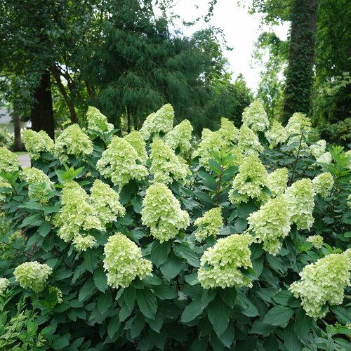 Limelight Prime™ - Panicle Hydrangea - Hydrangea paniculata