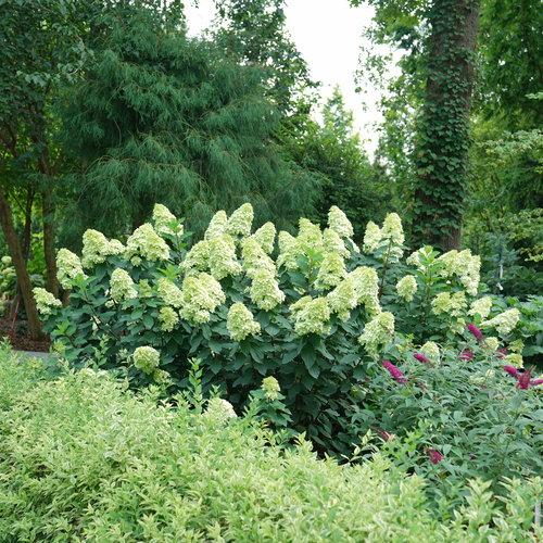 hydrangea-limelight-prime-8.jpg