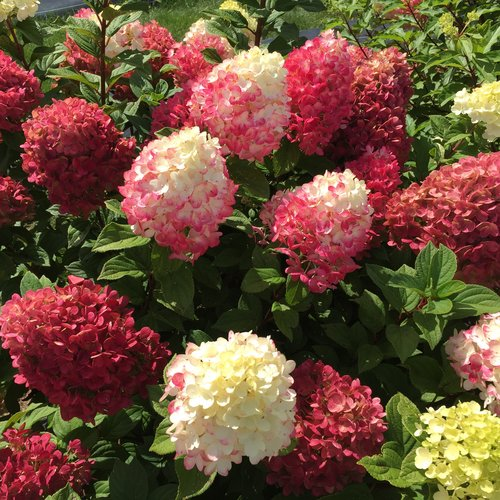 Little Lime Punch™ - Panicle Hydrangea - Hydrangea paniculata