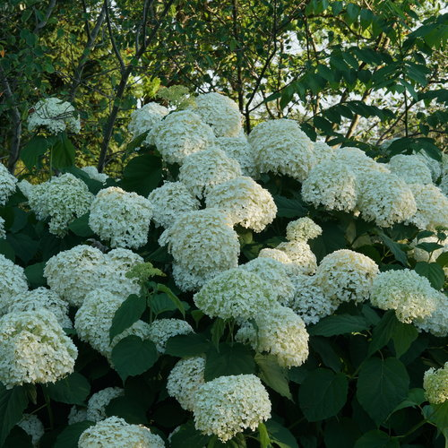hydrangea_arborescens_incrediball_dsc03190.jpg