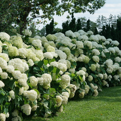 hydrangea_arborescens_incrediball_dsc03354.jpg