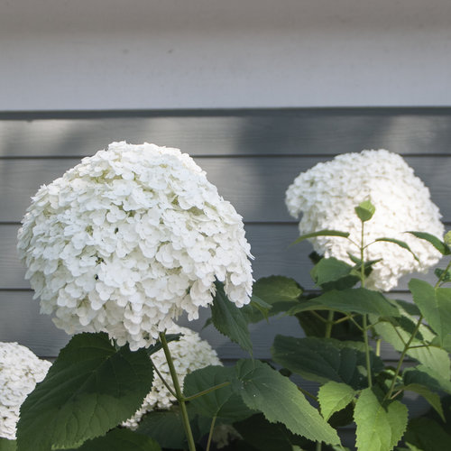 hydrangea_arborescens_incrediball_img_0709.jpg