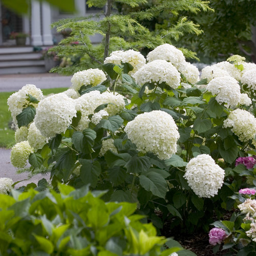 hydrangea_arborescens_incrediball_img_3842.jpg