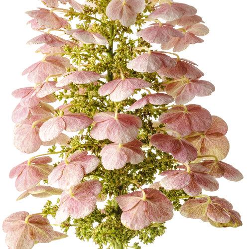 hydrangea_gatsby_pink_02.jpg