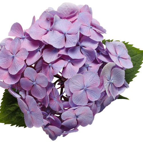 hydrangea_lets_dance_big_easy_01.jpg