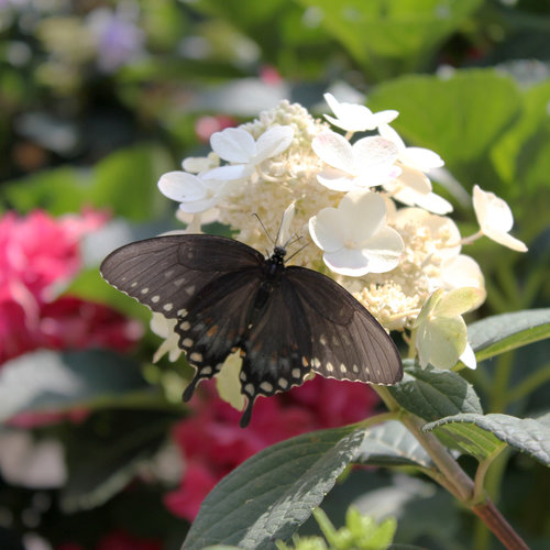 hydrangea_little_quick_fire_with_butterfly_2.jpg