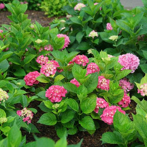 Let's Dance Big Band® - Reblooming hydrangea - Hydrangea macrophylla