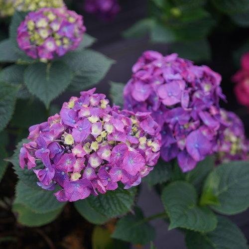 hydrangea_macrophylla_lets_dance_big_band_dsc03439.jpg