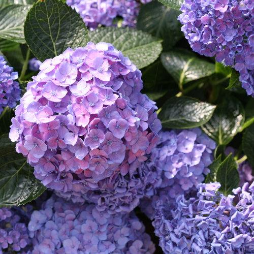 hydrangea_macrophylla_lets_dance_blue_jangles_img_0136.jpg