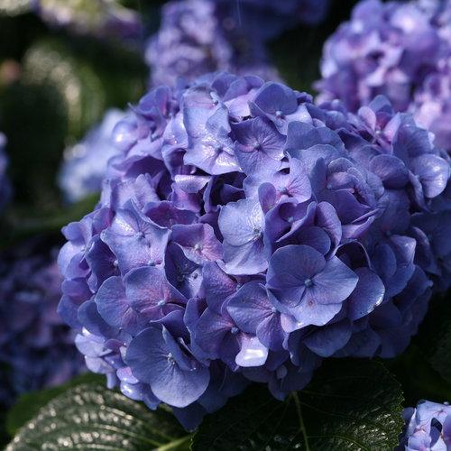 hydrangea_macrophylla_lets_dance_blue_jangles_img_0138.jpg
