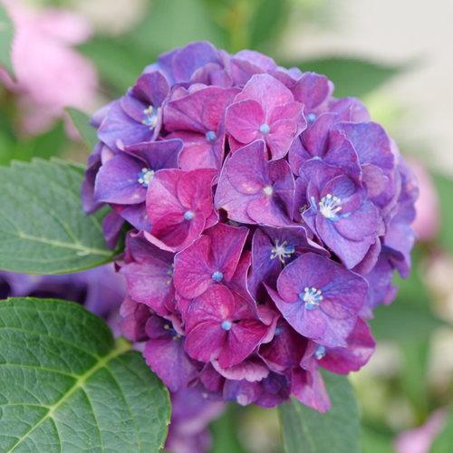 hydrangea_macrophylla_wee_bit_grumpy_p1077662.jpg