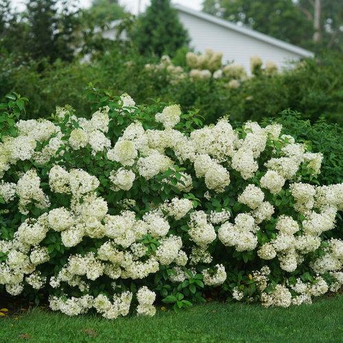 hydrangea_paniculata_bobo_dsc07901.jpg