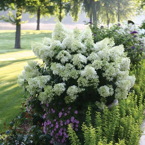 Bobo® - Panicle Hydrangea - Hydrangea paniculata