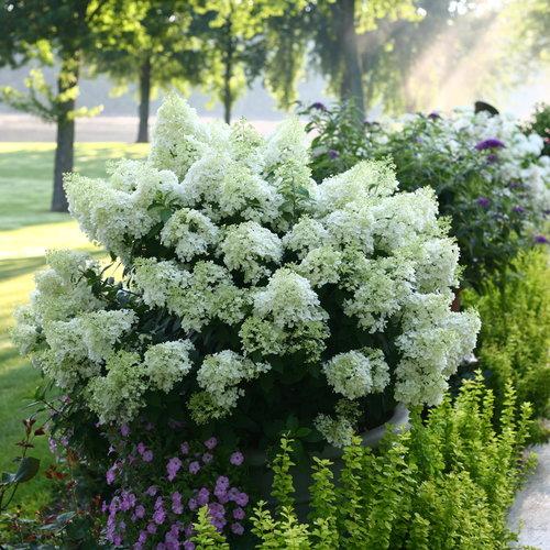 hydrangea_paniculata_bobo_img_1643.jpg