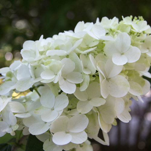 hydrangea_paniculata_fire_light_img_6007.jpg