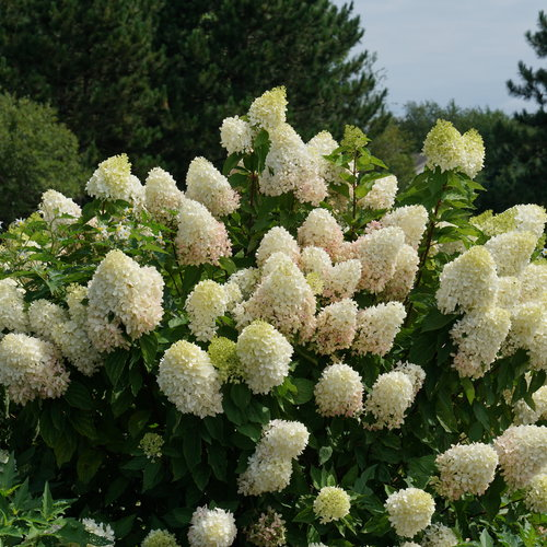 hydrangea_paniculata_zinfin_doll_dsc01528.jpg