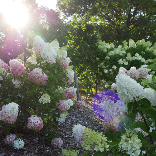 hydrangea_paniculata_zinfin_doll_p2400272.jpg