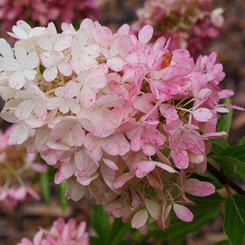 hydrangea_paniculata_zinfin_doll_p2410630.jpg