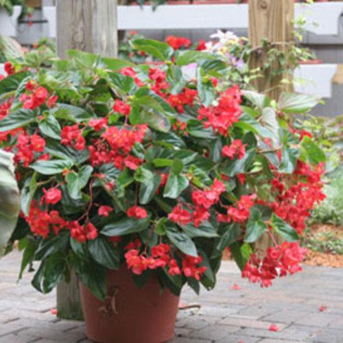 Dragon Wing® Red - Angelwing Begonia - Begonia hybrid