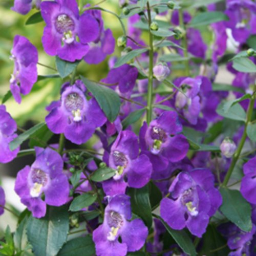 Angelface® Blue Summer Snapdragon Angelonia angustifolia