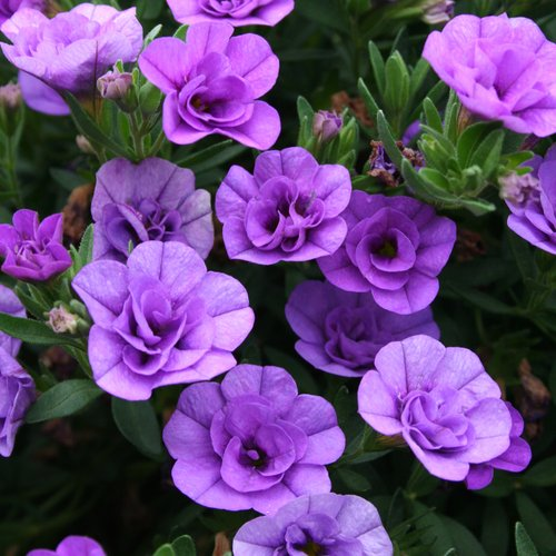 Superbells® Double Lavender - Double Calibrachoa - Calibrachoa hybrid