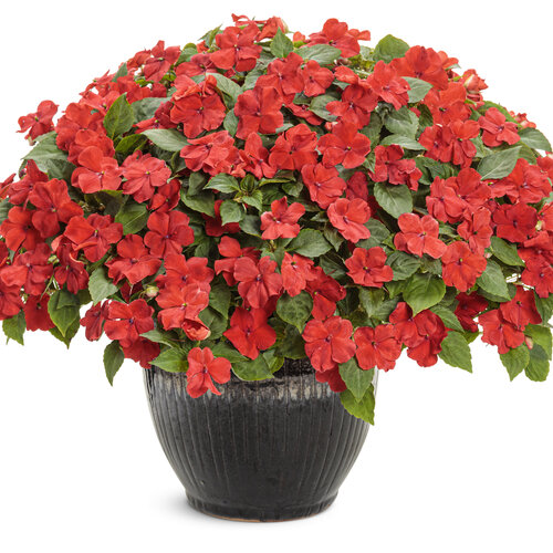 impatiens_sopranor_bright_red_mono.jpg