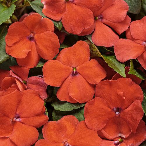 Soprano® Orange - Bedding Impatiens - Impatiens walleriana