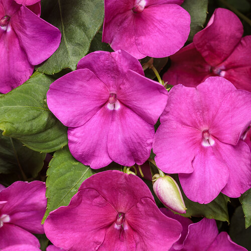 Soprano® Violet Shades - Bedding Impatiens - Impatiens walleriana