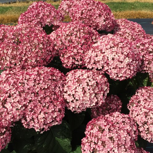 incrediball_blush_hydrangea_blooms.jpg