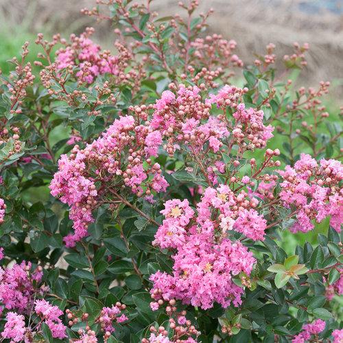 infinitini_brite_pink_lagerstroemia-2.jpg