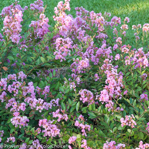 Infinitini® Orchid - Crapemyrtle - Lagerstroemia indica