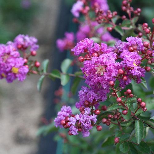 Infinitini® Purple - Crapemyrtle - Lagerstroemia indica