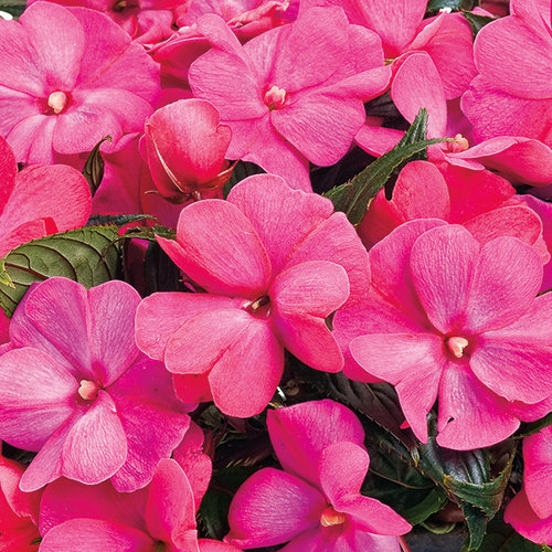 Infinity® Electric Cherry - New Guinea Impatiens - Impatiens hawkeri