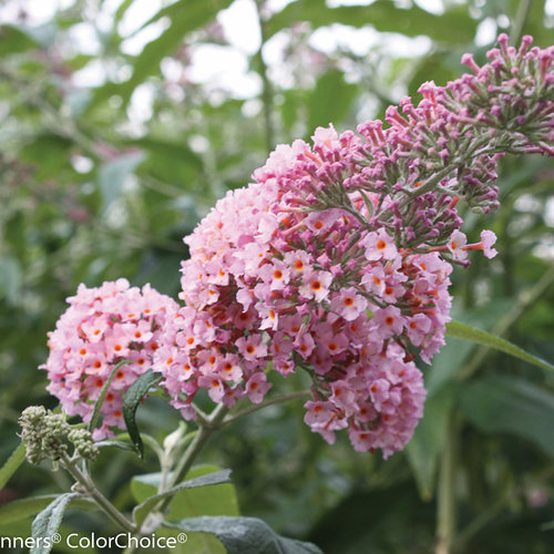 inspired_pink_buddleia.jpg