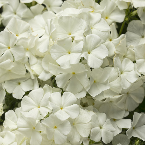 Intensia® White - Phlox drummondii