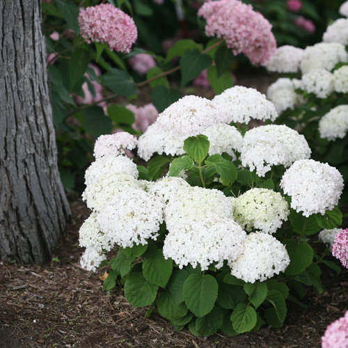 Invincibelle Wee White Smooth Hydrangea Arborescens