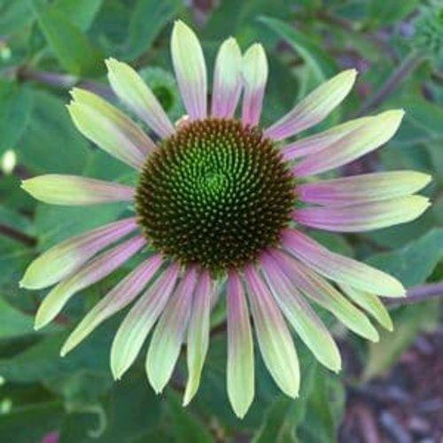 'Green Envy' - Coneflower - Echinacea purpurea