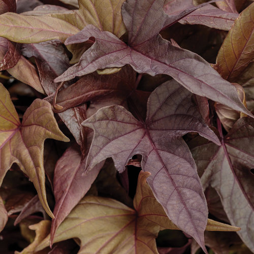 Proven Accents® Sweet Caroline Red Hawk™ - Ornamental Sweet Potato Vine - Ipomoea hybrid