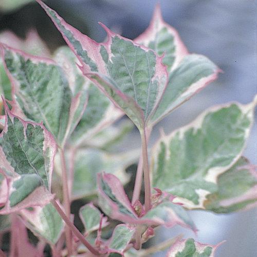 Proven Accents® Tricolor - Sweet Potato Vine - Ipomoea batatas