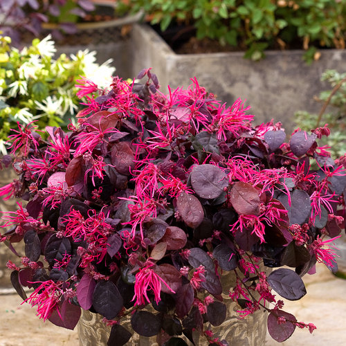 Jazz Hands Bold® - Chinese fringe-flower - Loropetalum chinense