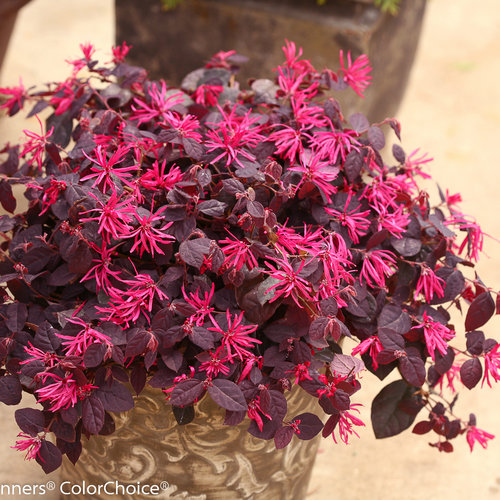 jazz_hands_dwarf_pink_loropetalum-3.jpg