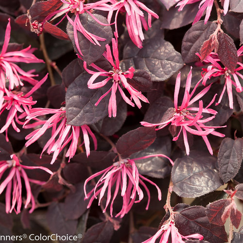 jazz_hands_dwarf_pink_loropetalum.jpg