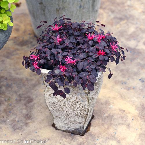Jazz Hands Mini® - Chinese fringe-flower - Loropetalum chinense