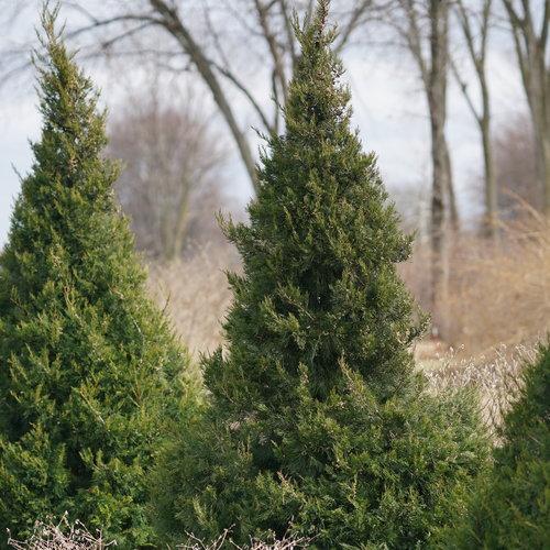 juniperus_gin_fizz_3.jpg